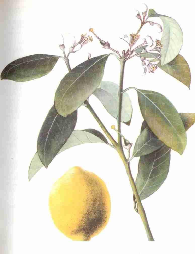 Citronnier m decine sant - Citronnier feuilles jaunes ...