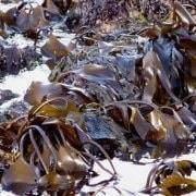 Les polysaccharides d'algues : Les alginates