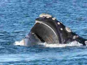 organe-sensoriel-baleines
