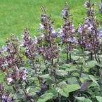 sauge officinale salvia officinalis